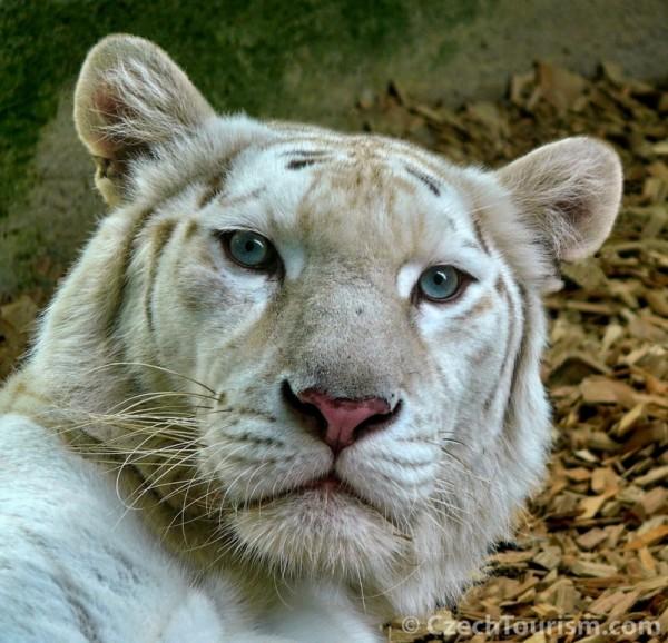 ZOO+Liberec-biały+tygrys
