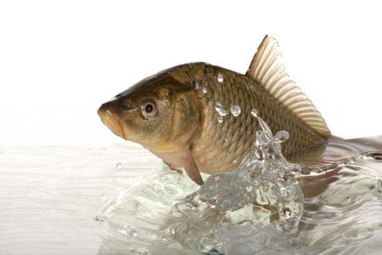 Big carp floats in transparent water.