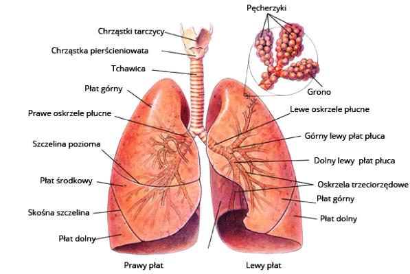 płuco