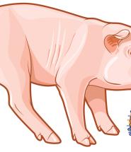 Swine_virus
