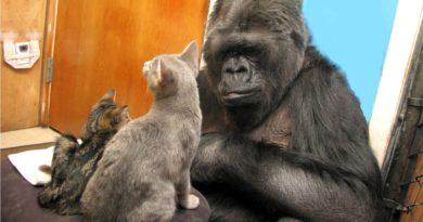 """Zmarła Koko – małpa, która """"rozmawiała"""" z ludźmi"""""""